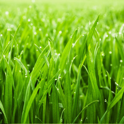 Close up of thick, green grass covered in morning dew